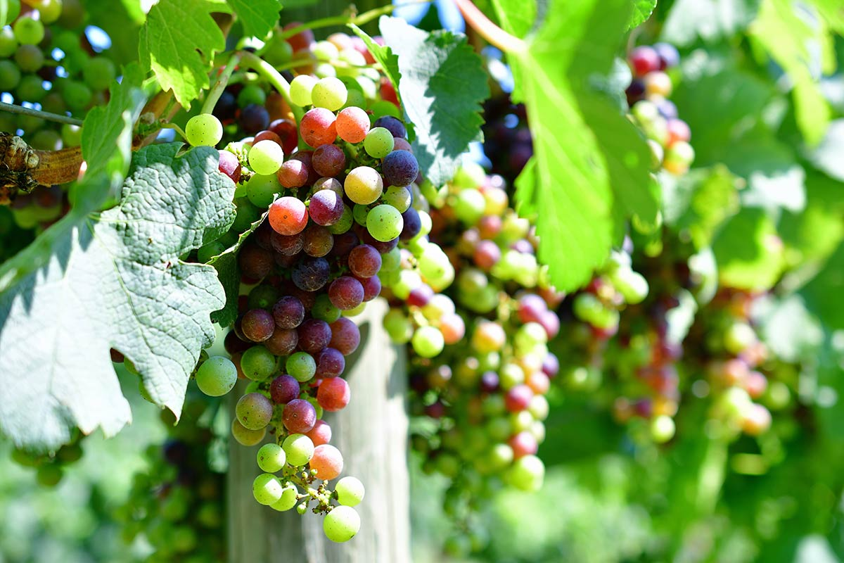 Clusters of grapes showing veraison